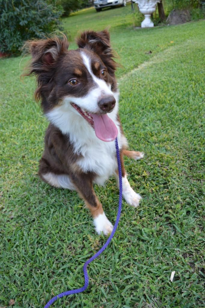Adopt Mini Aussie Ginger On Australian Shepherd Australian Shepherd Dogs Mini Aussie
