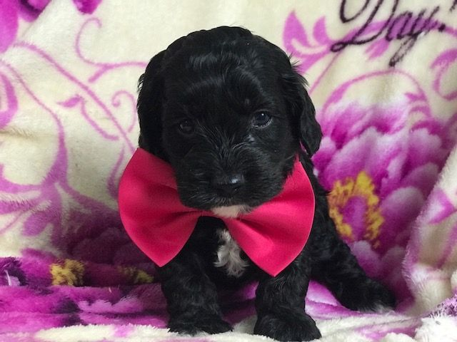 Cocker Spaniel-Poodle Miniature Mix Puppy For Sale In -3616