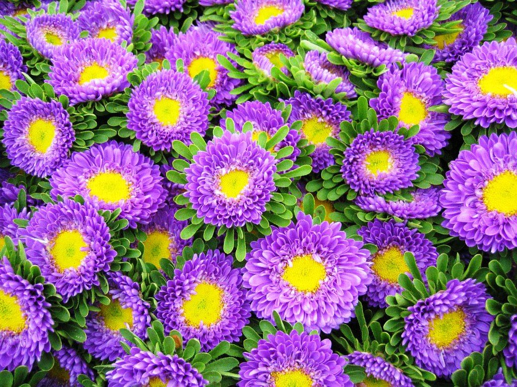 Unduh 93+ Gambar Bunga Aster Terbaik Gratis
