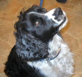 Adopt Bonnie On Dog Sounds Spaniel Dog Springer Spaniel