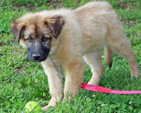 Chow Chow German Shepherd Mix Mixed Breed Puppies Unique Dog