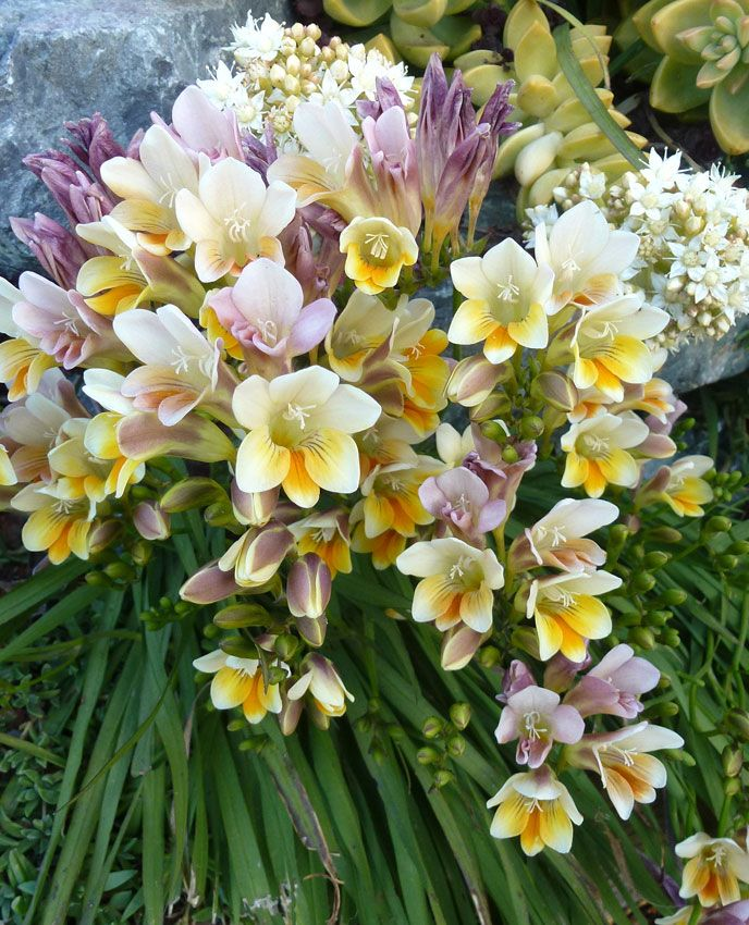 Freesia Caryophyllacea Zone 9 Worth Bringing Them In Winter So Fragrant Fragrant Plant Bulb Flowers Indoor Flowering Plants