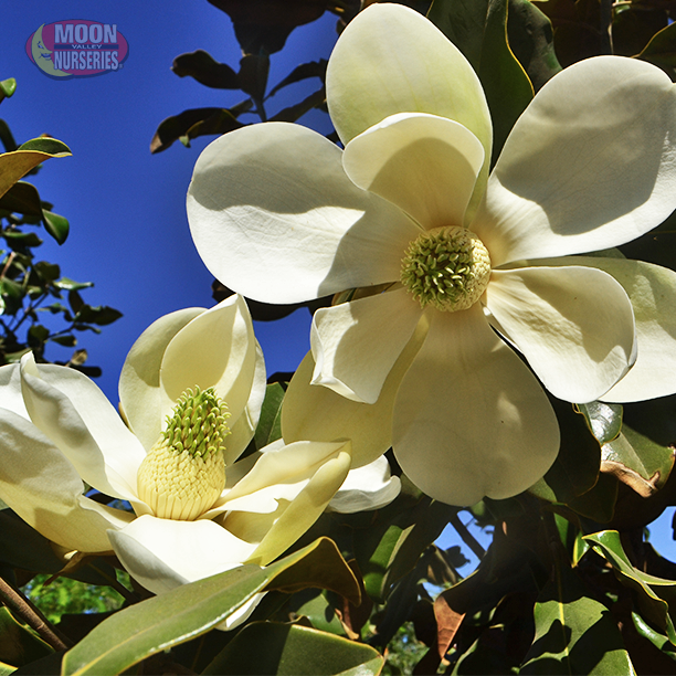 Beautiful Magnolia Blooms On A Tree That Performs Well In Arizona Las Vegas And Southern California Easy To Grow The Look Great Any