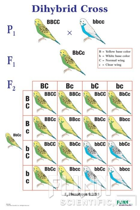 Dihybrid Cross With Helpful Images Biology Lessons Teaching Biology Study Biology