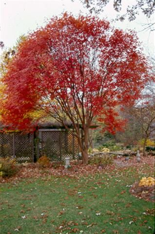 Acer Griseum X Maximowiczianum Girard S Maple Height