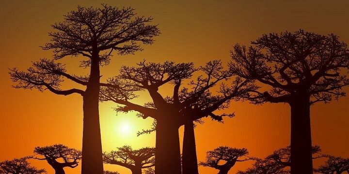 Avenue of Baobabs, Madagascar, Africa