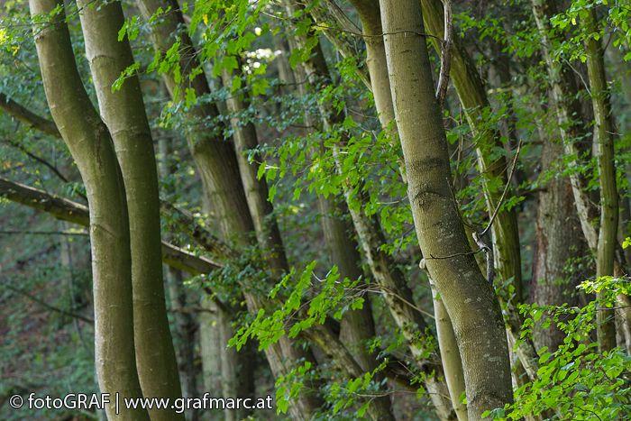 """Die """"Mutter des Waldes"""" - Die Wahl ist auf die Rotbuche gefallen, sie ist der Baum des Jahres 2014. Grund genug, sie Euch ein bisschen genauer vorzustellen. Warum sie """"Mutter des Waldes"""" genannt wird und worauf unser Nationalpark-Förster Wolfgang Riener besonders stolz ist, das verrät Euch der aktuelle Blogbeitrag. Schaut rein und - noch viel wichtiger - schaut bei uns selbst vorbei http://blog.np-thayatal.at/"""