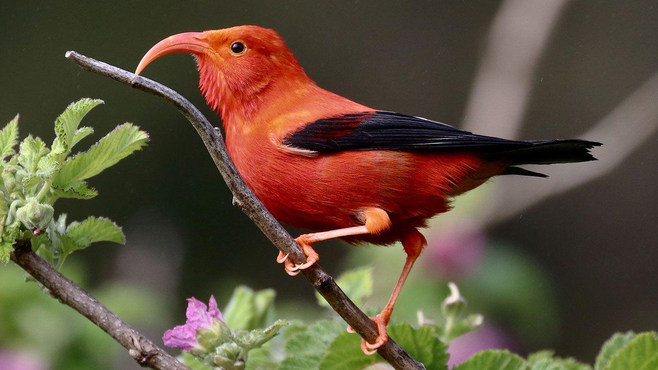 Keeping Hope Alive For Hawaii's Iiwi in 2020 Bird