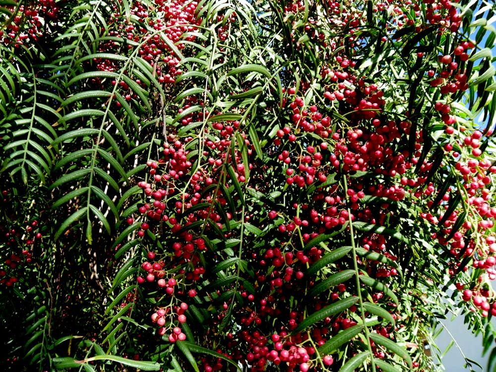 Molle Del Peru Pink Peppercorns Schinus Molle With Images