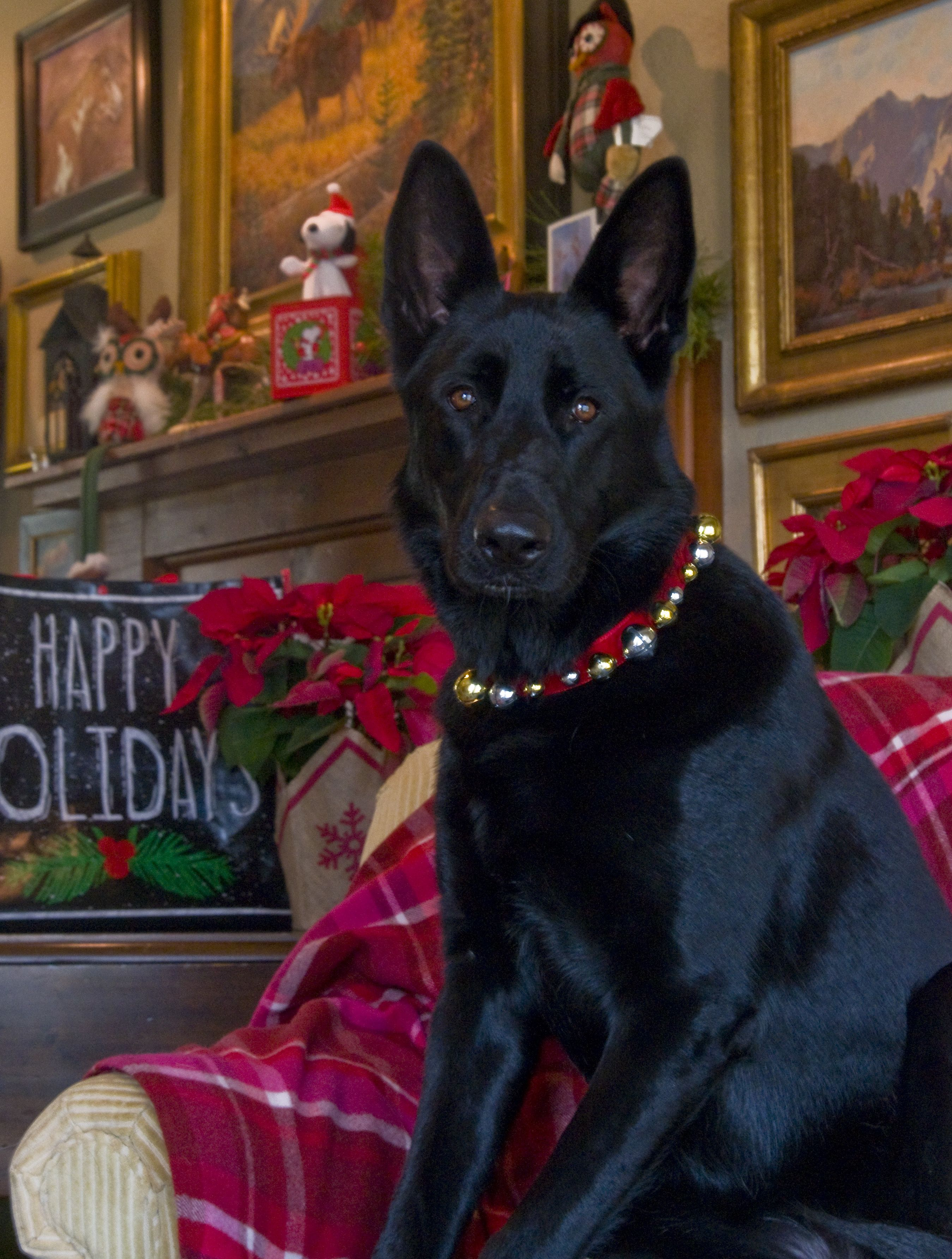 Timber Wishes All Of Her Friends A Merry Christmas Black German Shepherd Dog Black German Shepherd German Shepherd Dogs