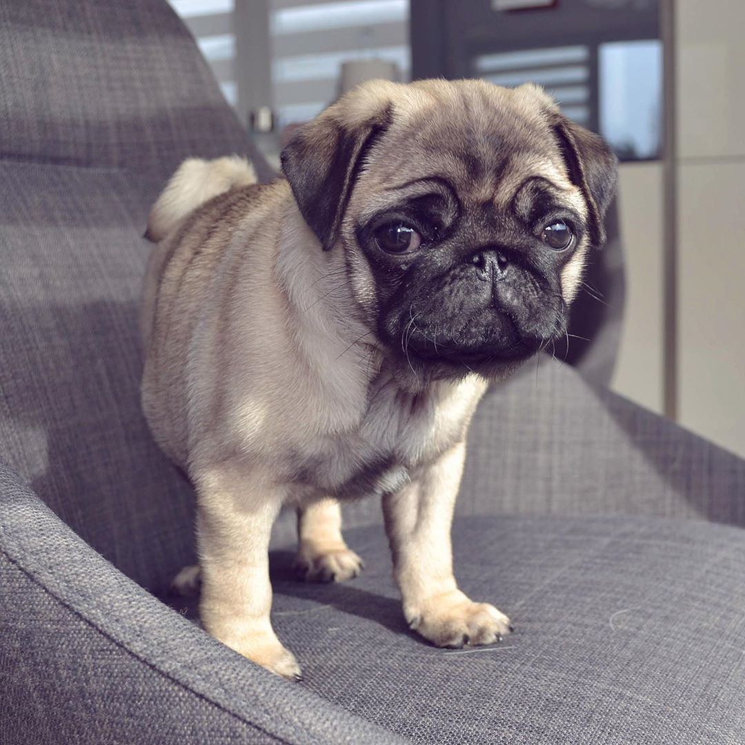 Pin By Sean Jung On Pugs Cute Pugs Pug Puppies Pugs