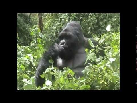 Tracking Mountain Gorillas on safari with Nomad Africa