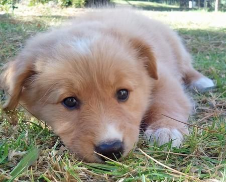 Collie Golden Retriever Mix Puppy Gracia Gomez Cortazar
