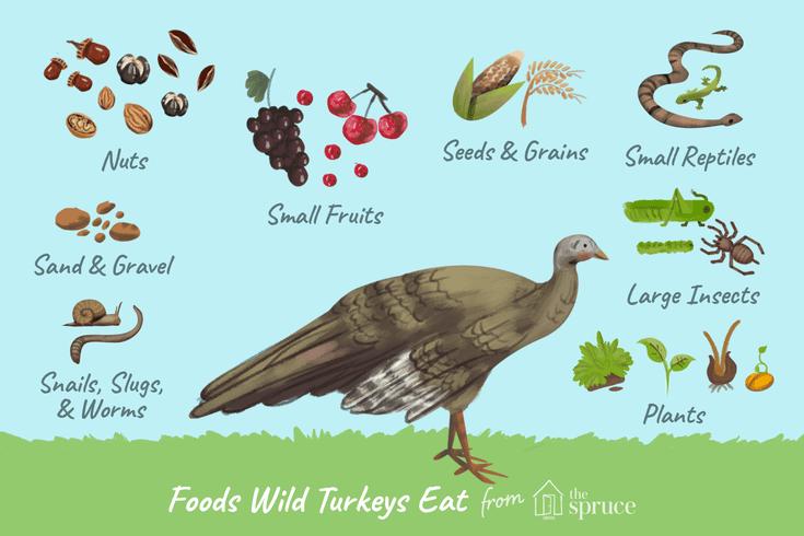 what is turkeys diet
