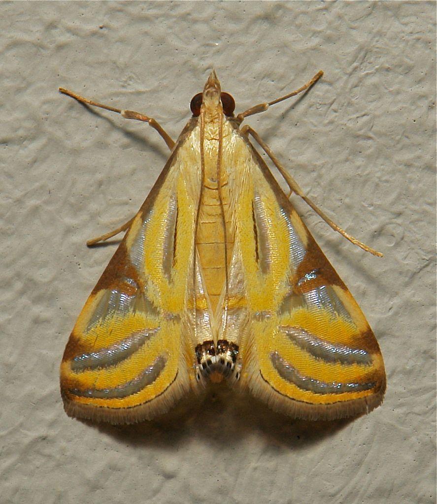 Image Result For Moth Talanga Sexpunctalis Crambidae Schmetterling Nachtfalter Insekten