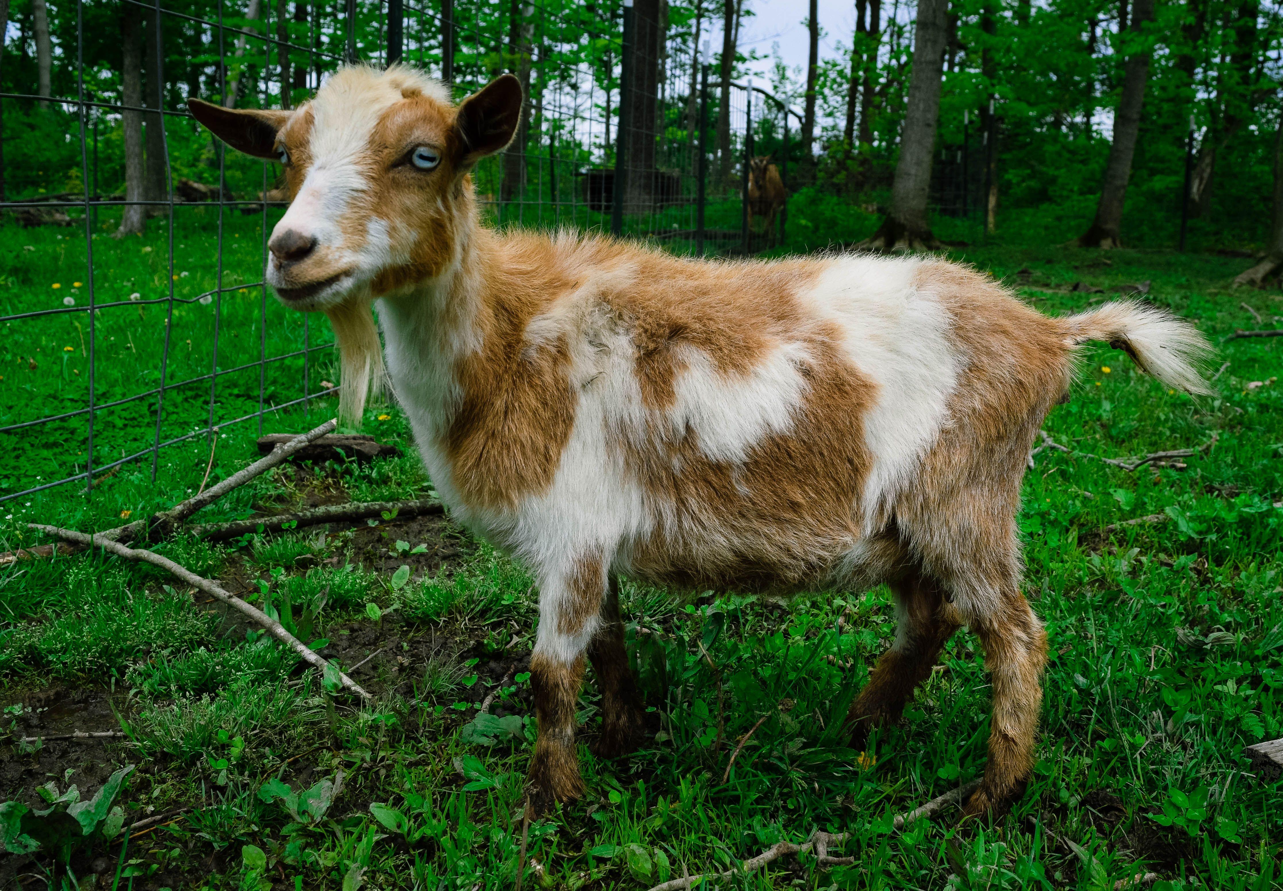 Cowgirl A Mini Alpine Doe Goat With Blue Eyes