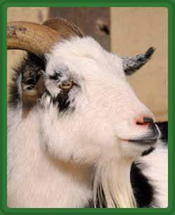 Содержание коз с козлятами зимой