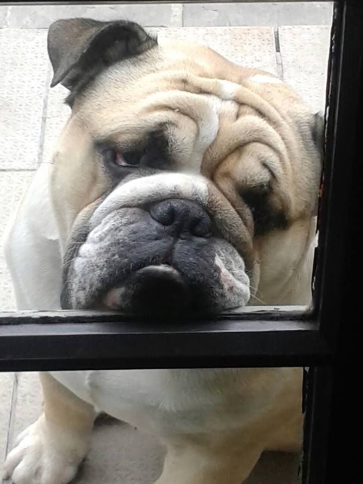 That look is while your gone! #dogs #pets #Bulldogs Facebook.com/sodoggonefunny