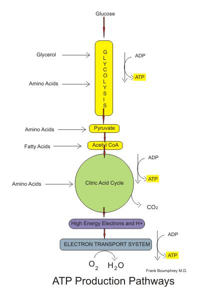 Aerobic Pathways Of Glucose Metabolism School Pinterest