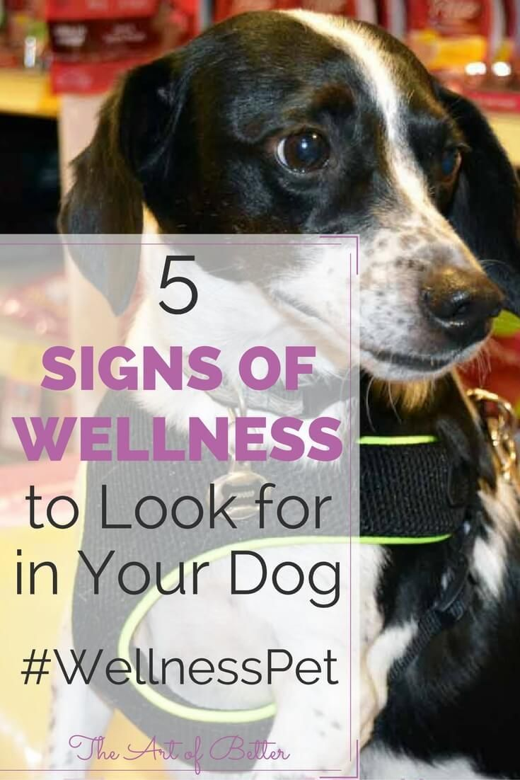 Signs of wellness in your dog can be a bit trickier to spot than in a person. If you know what to look for, though, the health of your pet becomes apparent pretty quickly. The fastest way to impact your dog's wellness is simple; high-quality nutrients fed on a consistent basis. #wellnesspet #ad