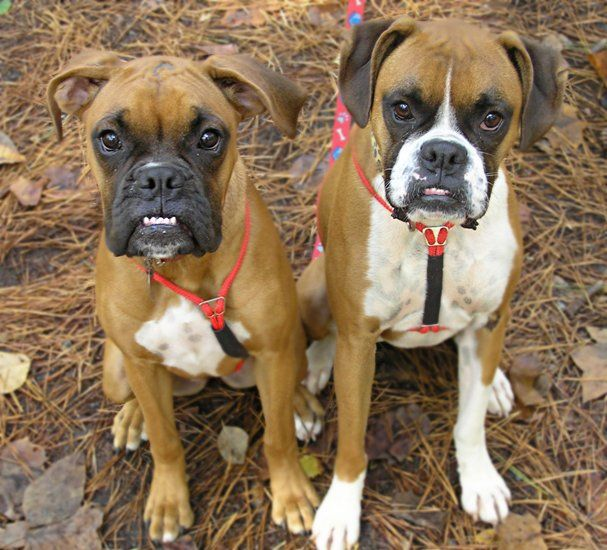 Two Brown Boxer Puppy Temperament Photos