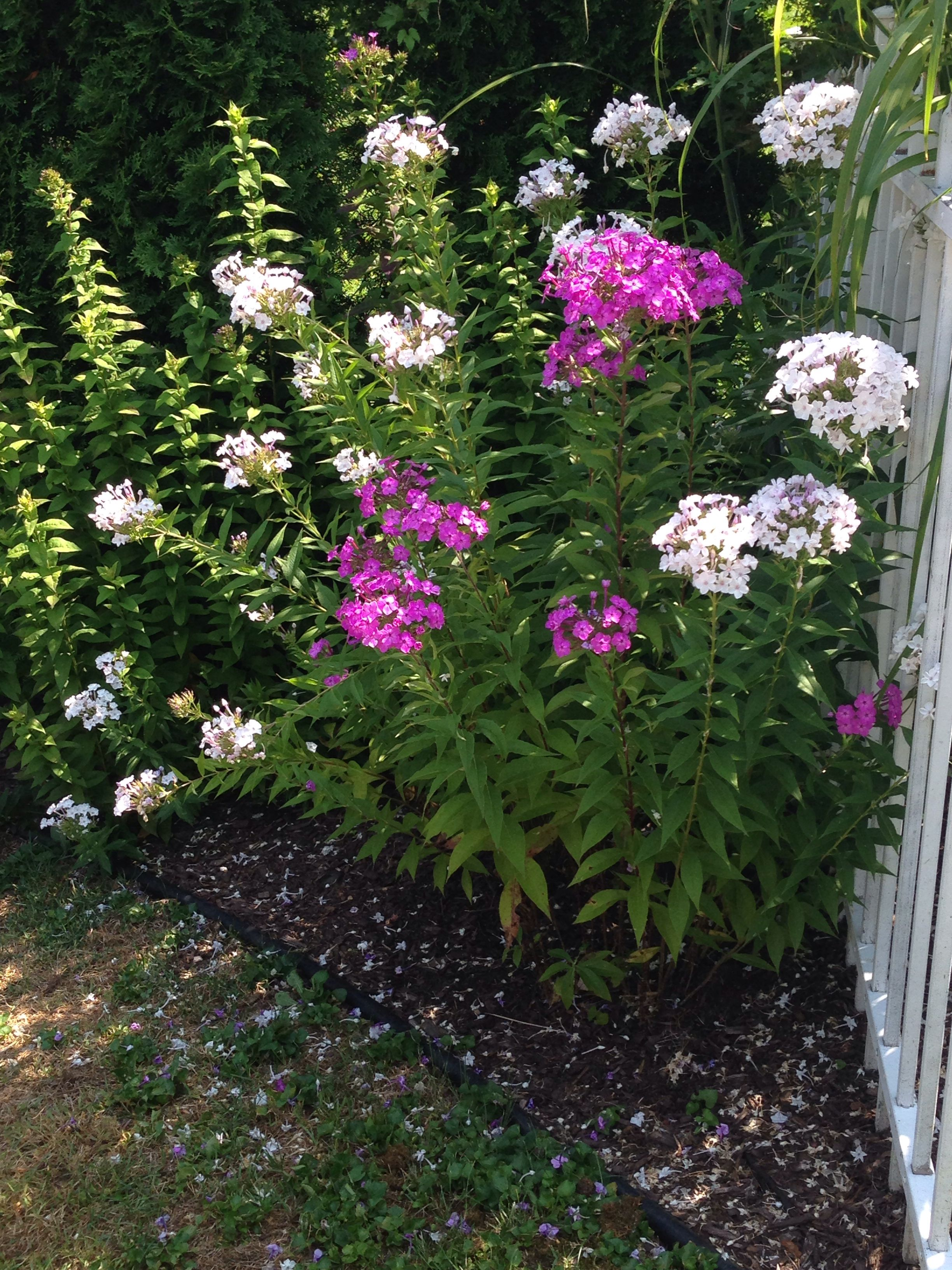 tall hummingbird garden outdoor phlox gallery anew green texas wildflowers decoration home annual