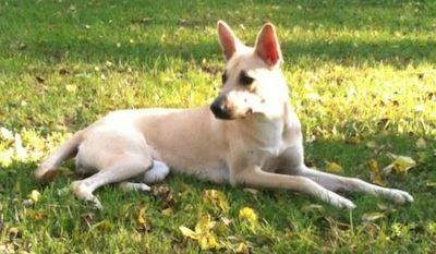 Carolina Dog Photo Carolina Dog Information And Pictures