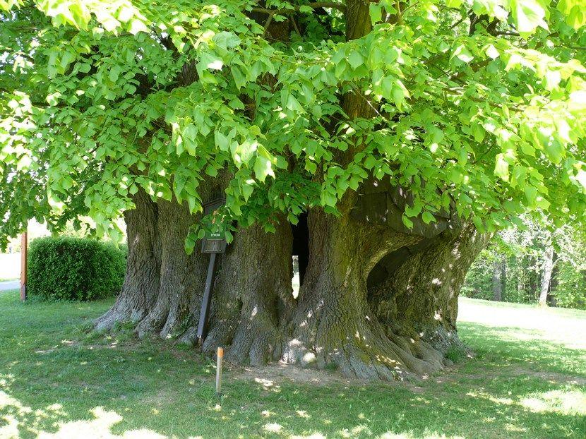 Categor as de rboles de hoja perenne tipos de arboles for Arboles de hoja caduca y perenne nombres