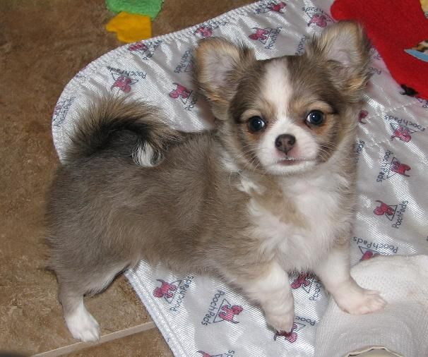Blue Sable Chihuahua Puppy Boogie X Blossom Chihuahua Puppies Cuddly Animals Cute Chihuahua