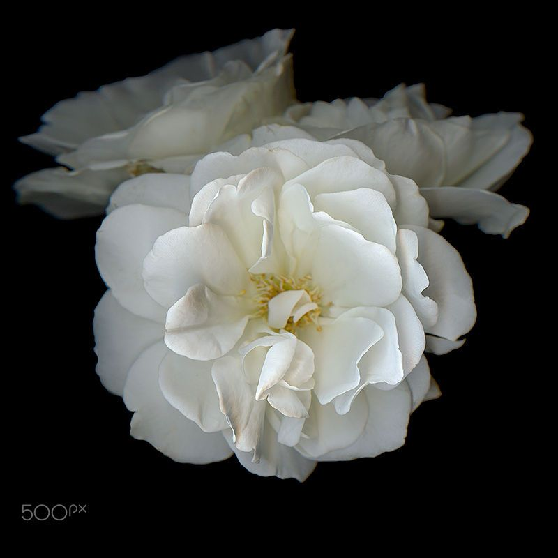 A Symbol Of Peace White Rose By Magda Indigo On 500px Roses