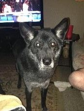 SOBAKA has been found  LAST SEEN GROTON, CT 06340 WOULD HAVE GONE TOWARD BUTTERNUT RD AND HICKORY