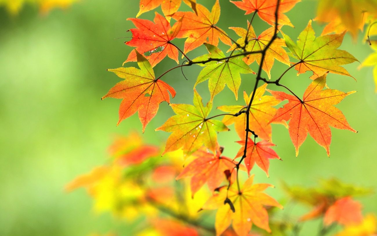 Download Nature Autumn Maple Branch Leaves Hips 2k 4k Wallpaper High Quality Hd Wallpaper In 2k 4k 5k 8k 10k Resolu Wallpaper Wallpaper Pc 4k Wallpapers For Pc