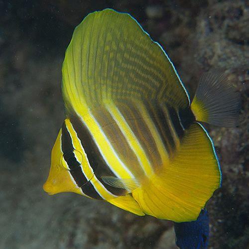 Sailfin Tang Yellow Australia Zebrassoma Veliferum Saltwater Fish Tanks Sea Fish Marine Fish
