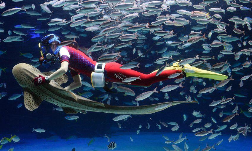 eine taucherin tanzt f rmlich mit einem hai w hrend einer show im sunshine aquarium in tokio. Black Bedroom Furniture Sets. Home Design Ideas