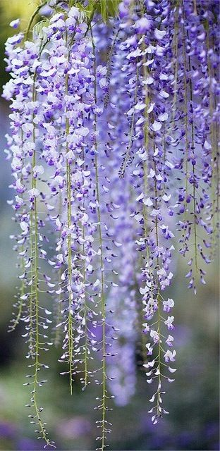 wisteria, I love this plant,especially the smell  Be careful though