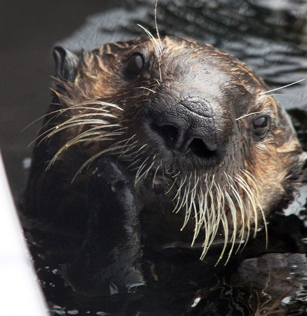 Sea Otter Is Deep In Thought Otters Sea Otter Animals Beautiful