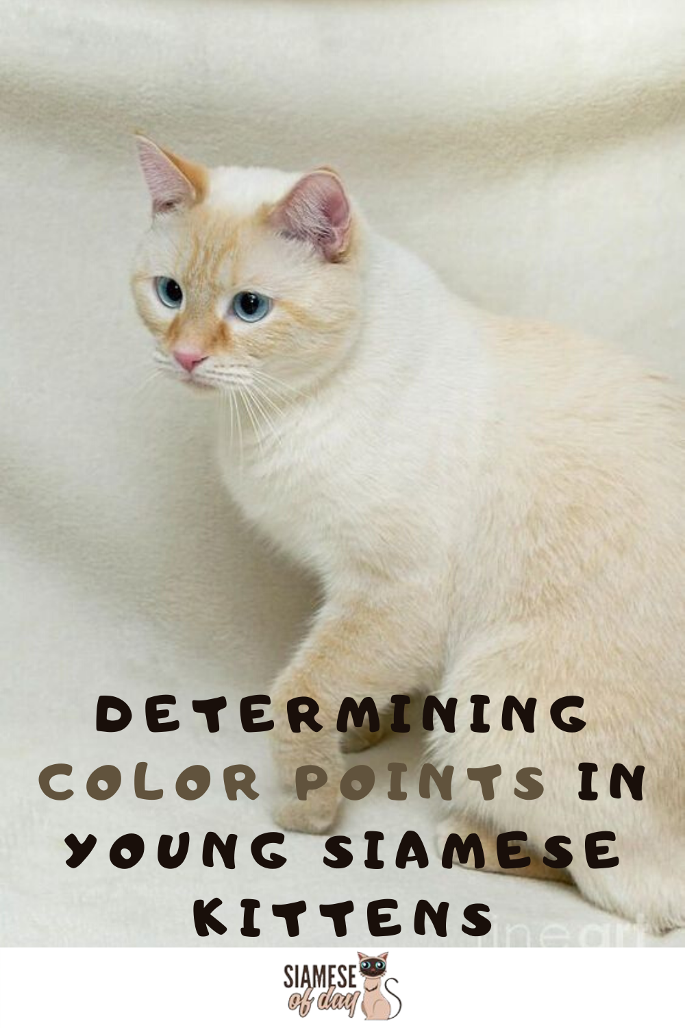 Red Flame Point Siamese Cats Siamese Of Day In 2020 Siamese Kittens Siamese Cats Siamese