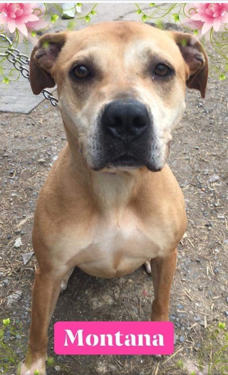5 25 19 Please Read Montana Needs Urgent Help Out Of The Utica Facility Road To Home Rescue Ny Ij2 Homeless Pets Dog Pounds Pitbulls