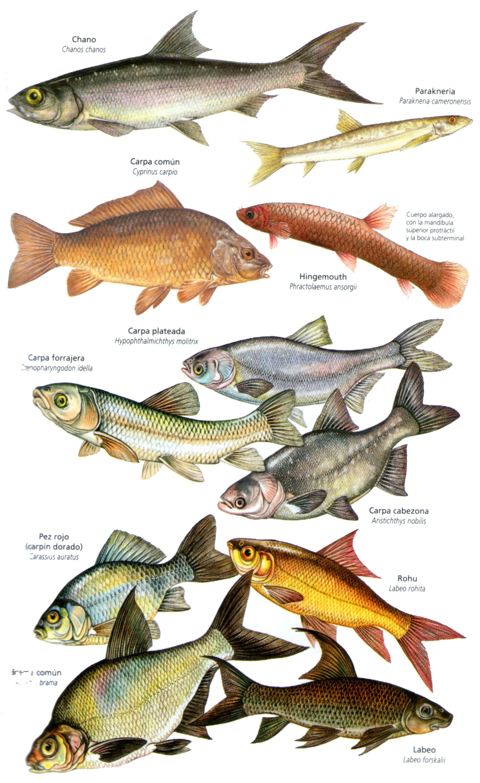 warfish de la varicoză
