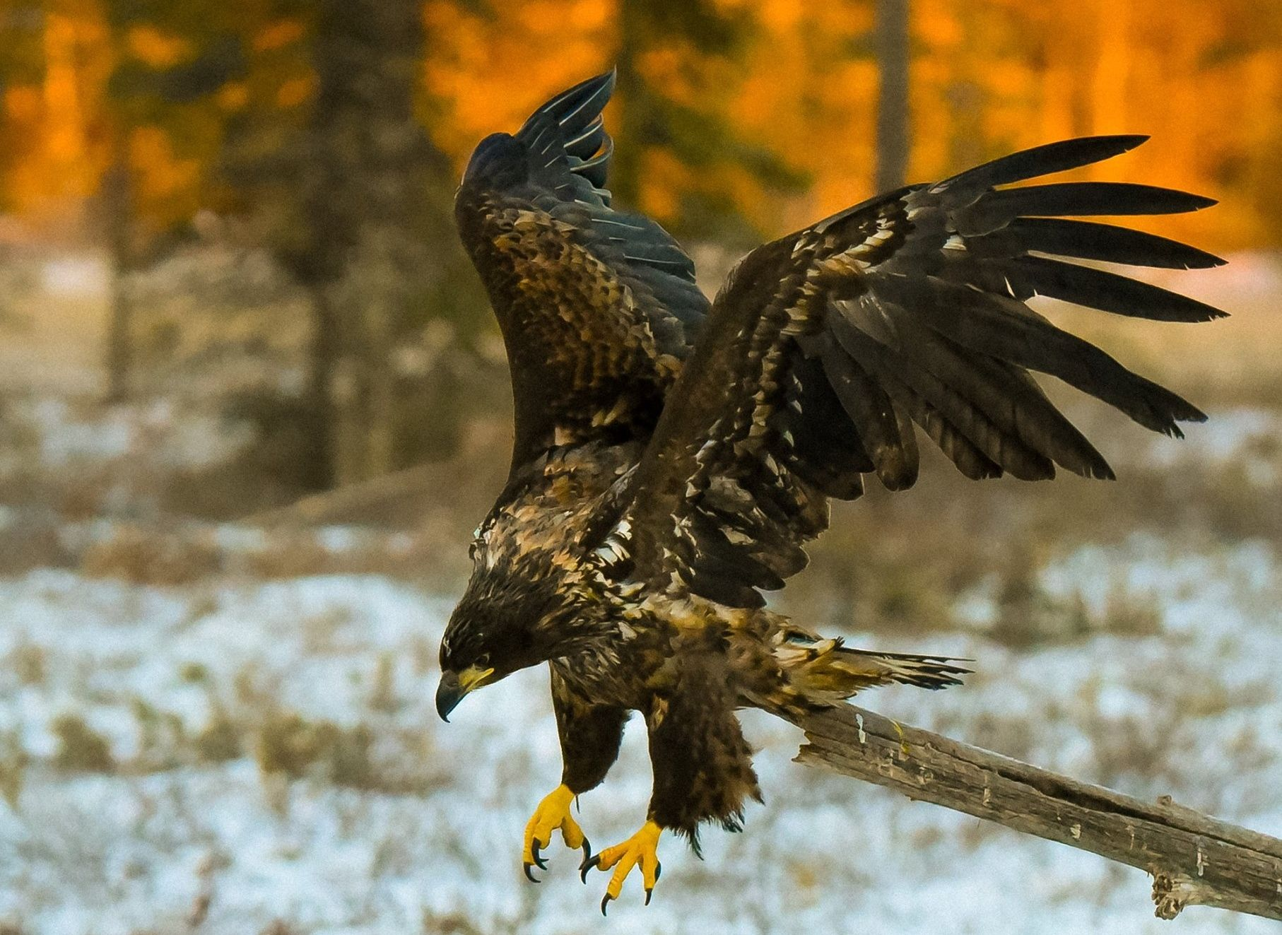A young white tailed eagle