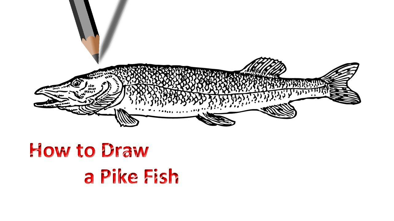 Pike Fish Drawing Fish Drawings Pike Fishing Drawing For Beginners