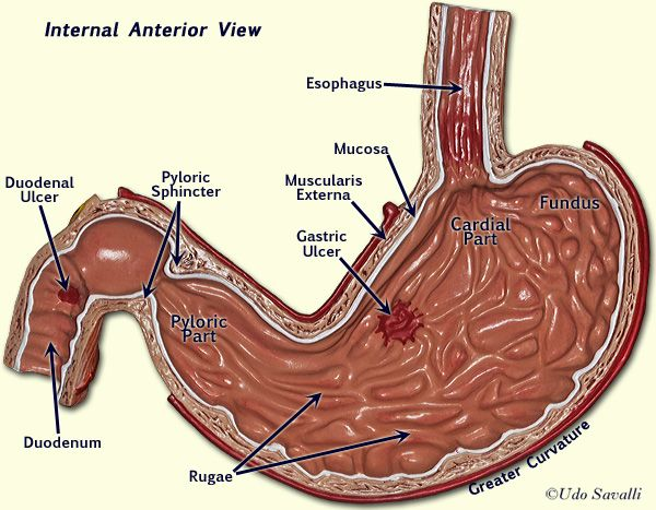 Internal Stomach Labeled Ap5omach Kidneys Pinterest