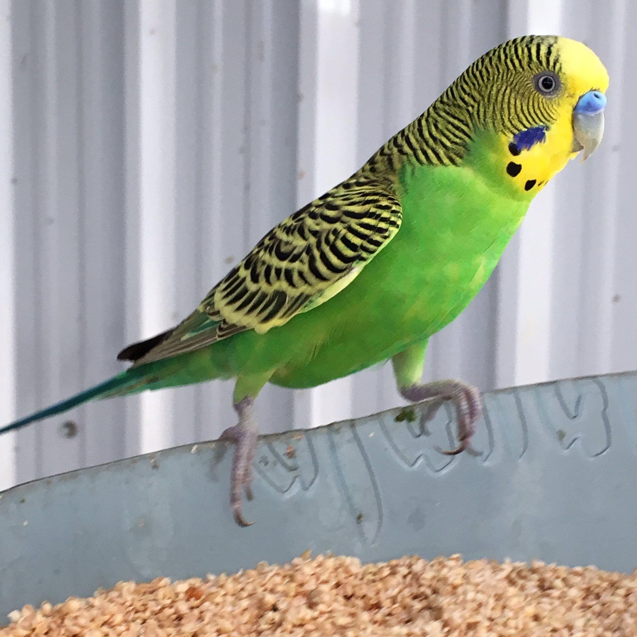 تربية البادجي Parrot Bird