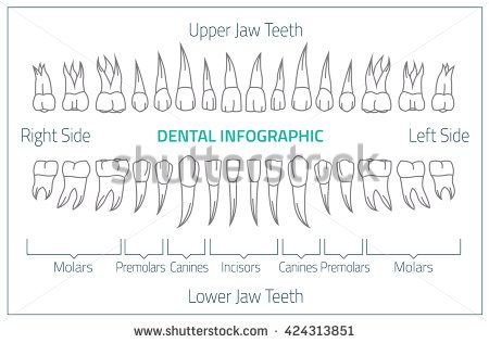 Adult International Tooth Chart Vector Illustration Editable