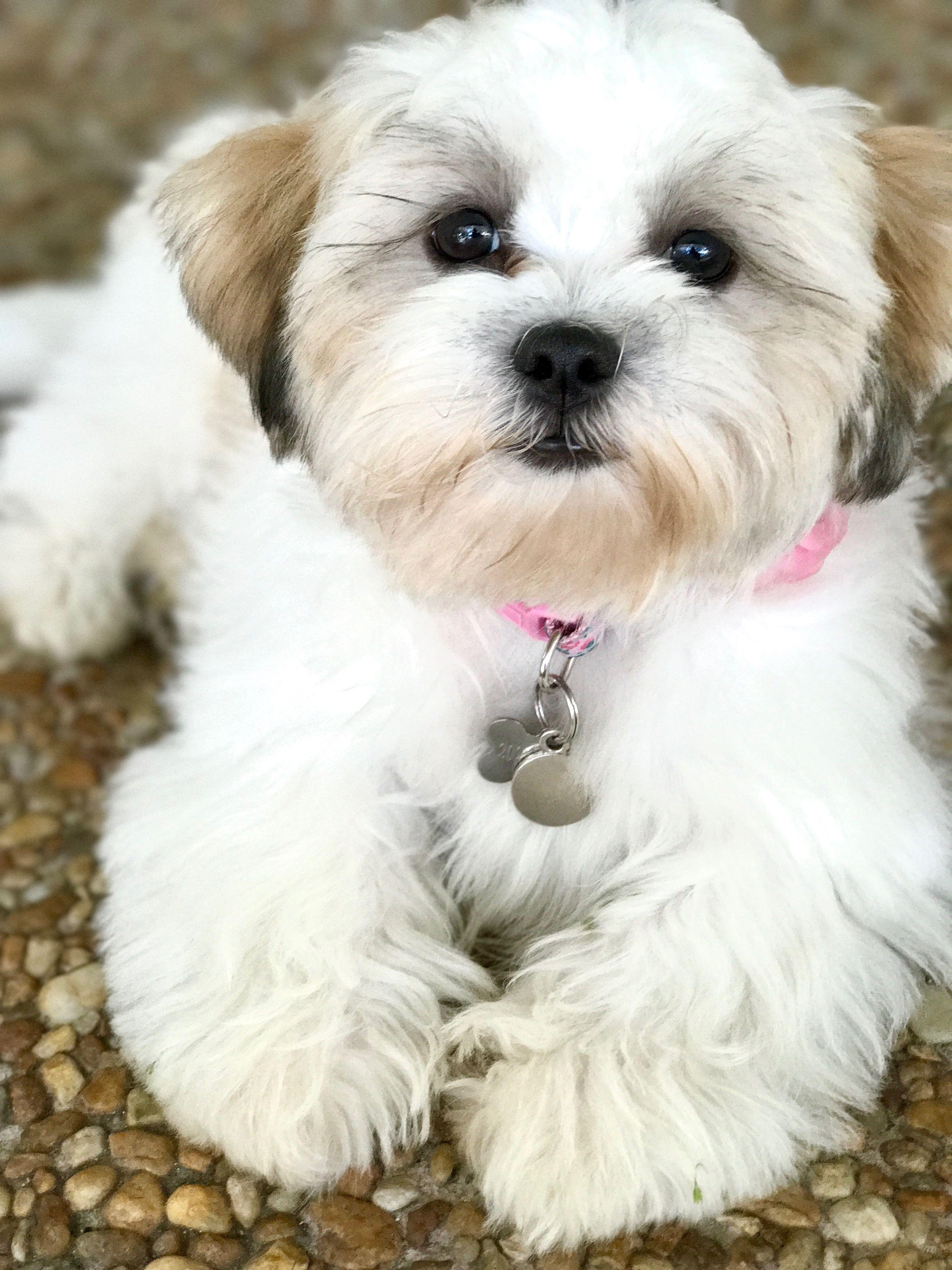 Haircut Style Havanese Puppies Havanese Teddy Bear Dog