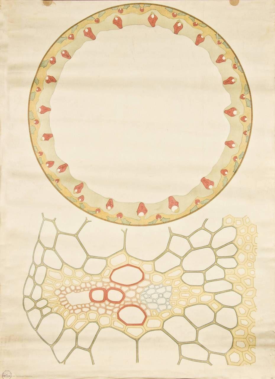 Anatomía del tallo monocotiledóneo\