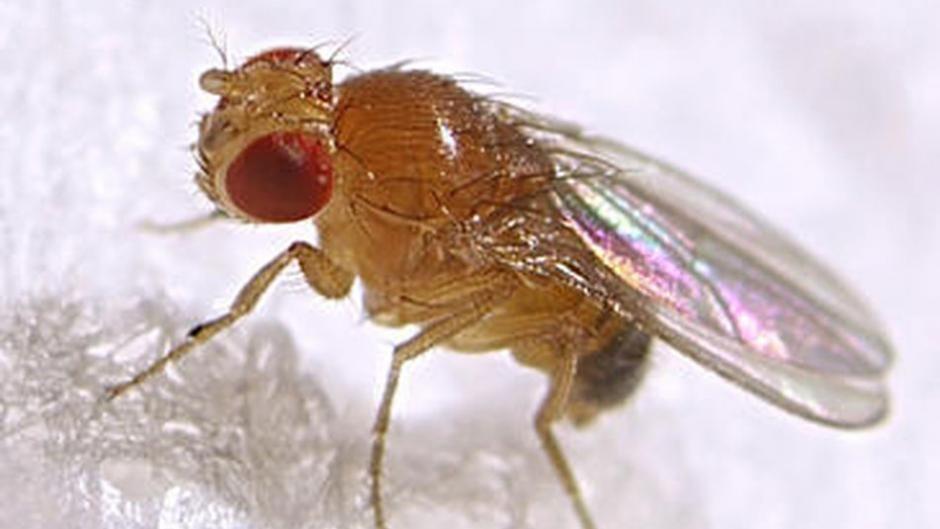 La mosca de la fruta se toma un tiempo para decidir | Ciencia ...