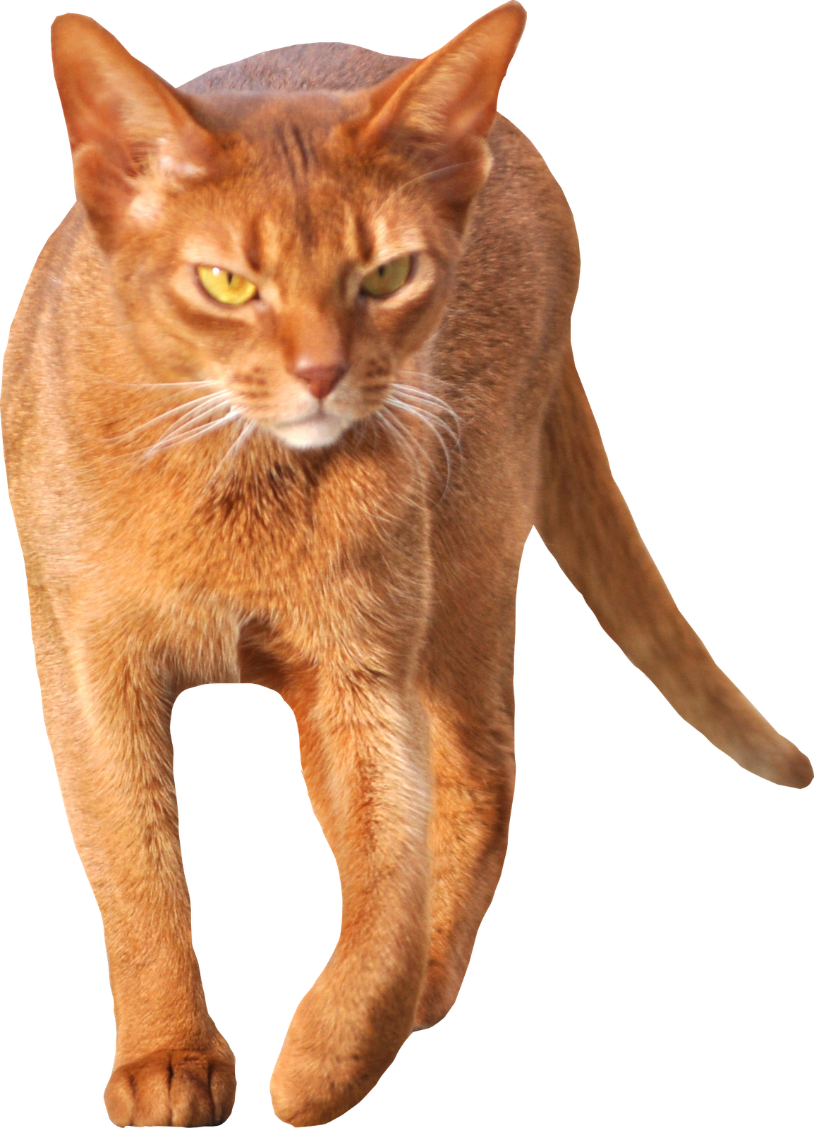 Transparent Cat Walking | Abyssinian Cat | Pinterest | Cat walk ...