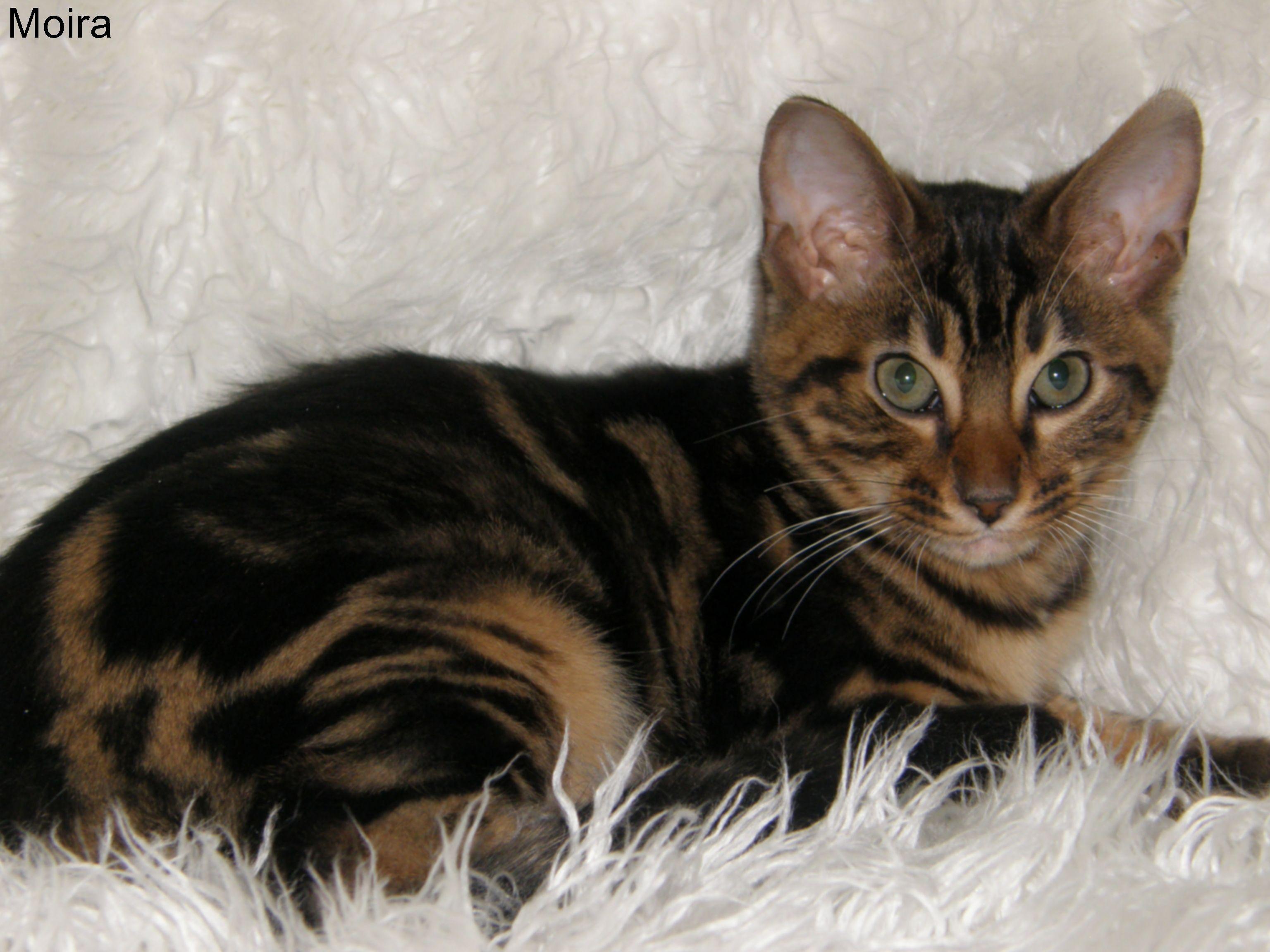 "Moira"" Cheetoh Kitten Pets Pinterest"