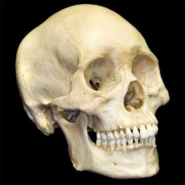 human skull the greater picture skulls | hide in plain sight, Skeleton